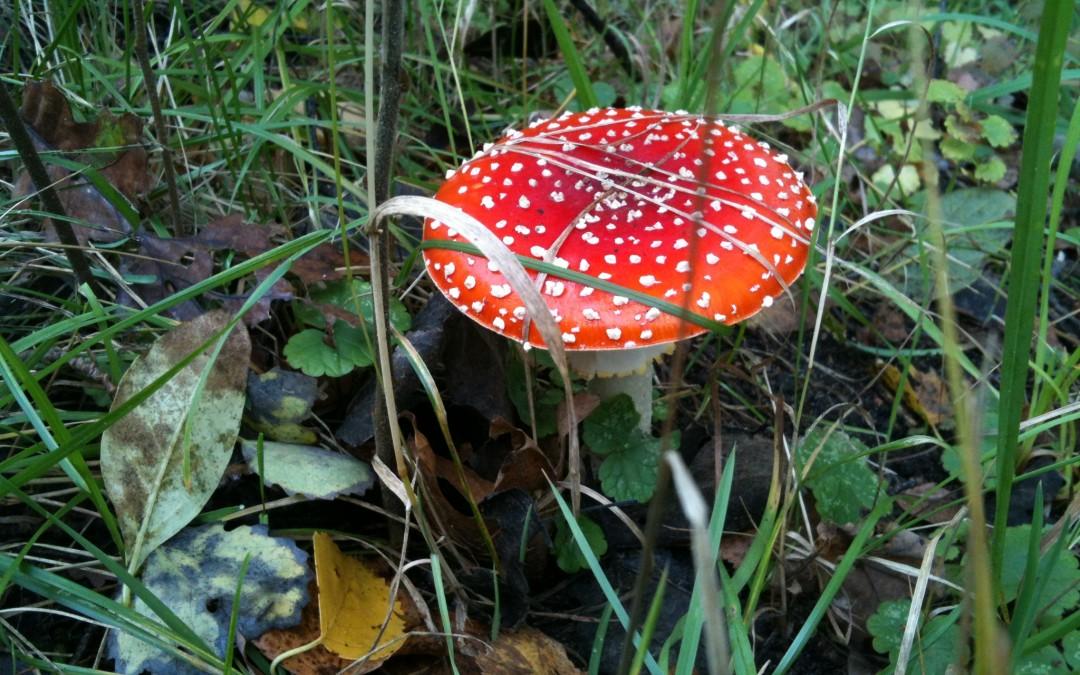 Roter Pilz im Wald steht für Pilgern im Bergischen Land.